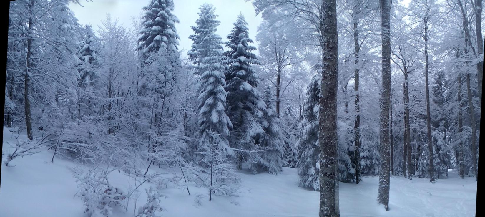 Première neige dans les bois.